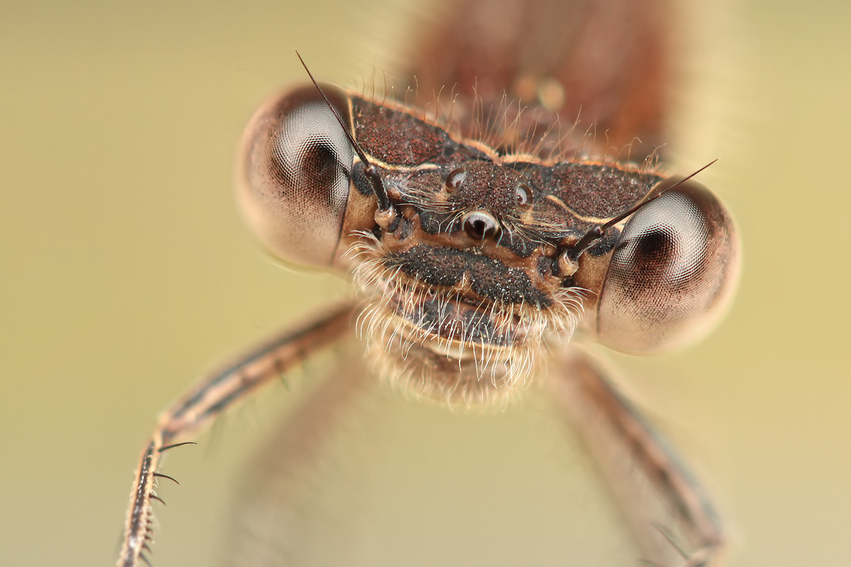 Sympecma fusca_frontal_portrait_stack_IMG_2686_1200.jpg