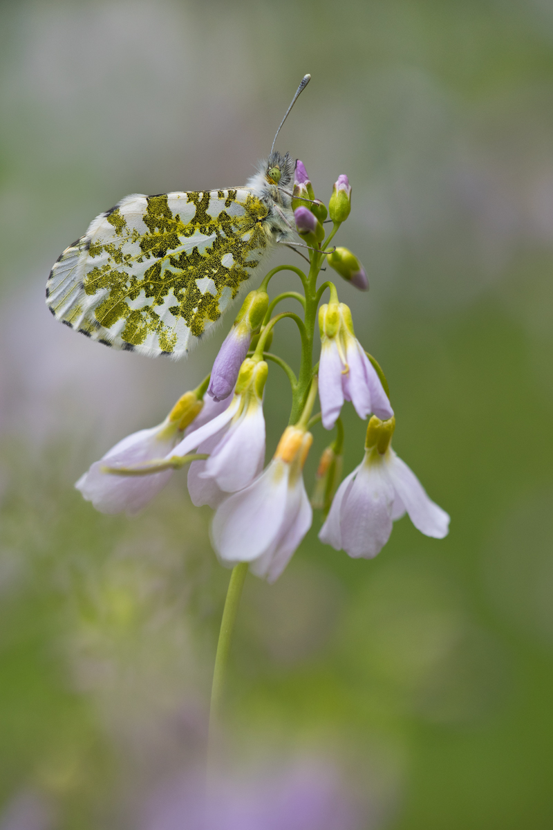 Anthocharis-cardamines_kompr.jpg