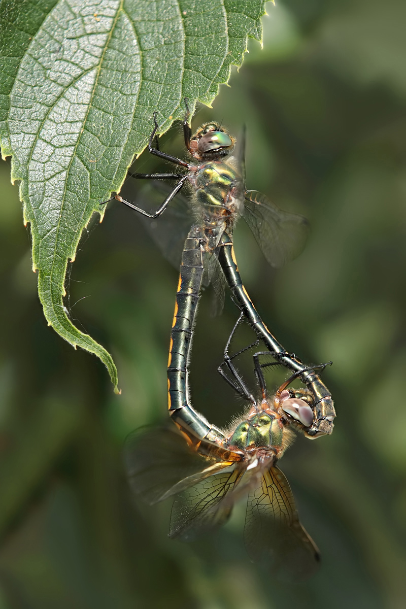 Oxygastra_curtisii_mating_IMG_4502c.jpg