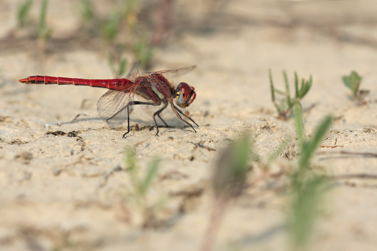 sympetrum_fonscolombii_m_img_9053a_114.jpg