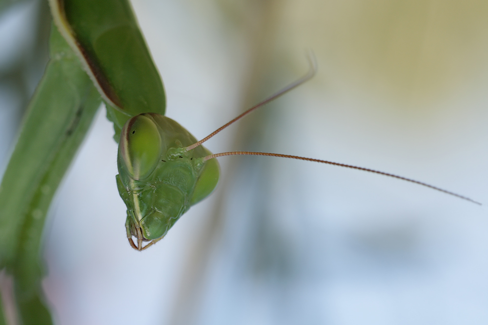 mantis_portrait_6722_590.jpg