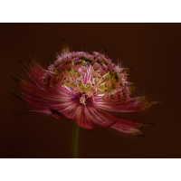 Sommerblume-9_20200124_Stack2-Bearbeitet-Bearbeitet.jpg (Hamburger)