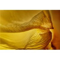 Tulpe_20200130_B2.jpg (Hamburger)
