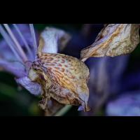 Rhododendron_Welk_20200602_Ausarbeitung.jpg (Hamburger)