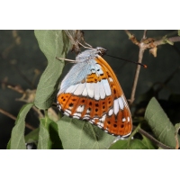 IMG_1180_edited.jpg (butterfly 27)