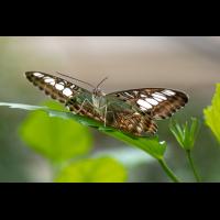 Brauner Segelfalter  (Parthenos syvia)-1.jpg (zerron112)