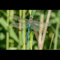 Königslibelle-Männchen-1.jpg (zerron112)