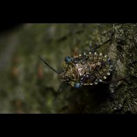 Rotbeinige Baumwanze-Larve (Pentatoma rufipes).jpg (Rollisch)