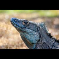 Schwarzer Leguan (Ctenosaurus similis)_MS5K2701.jpg (Klaus Liebel)