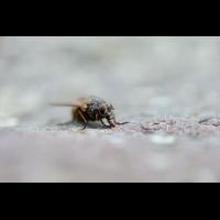 Fliege Kopie.JPG (Christian L)