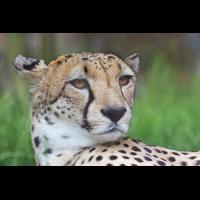 Gepard1_1.jpg (harai)