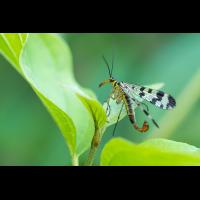 Skorpionfliege1_1.jpg (harai)