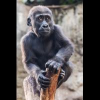 Gorilla1_1.jpg (harai)