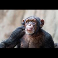 Schimpanse1_1.jpg (harai)