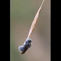 Biene-schaukelt.gif (Gabi Buschmann)