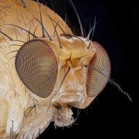 04703_4703_D810_Mitutoyo10_10zu1_Drosophila_0p0025_1200.JPG (Guppy)