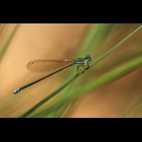 Nehalennia speciosa_w_7853_1200.jpg (der_kex)