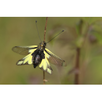 Libellenschmetterlingshaft_IMG_5094b.jpg (der_kex)