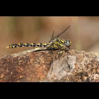 Onychogomphus uncatus_w_IMG_2613_1200a.jpg (der_kex)