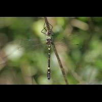 Macromia splendens_m_vonoben_IMG_5846_1200xxx.jpg (der_kex)
