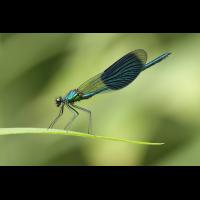 Calopteryx splendens_m_IMG_6602_1200.jpg (der_kex)