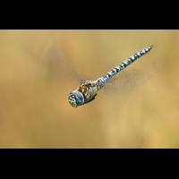 Aeshna affinis_m_flug_IMG_9253_1200.jpg (der_kex)