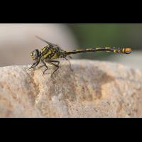 Onychogomphus uncatus_m_IMG_6776_1200a.jpg (der_kex)
