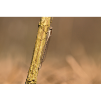 Sympecma fusca_f_IMG_2336_1200.jpg (der_kex)