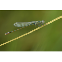 Ischnura elegans_m_frisch_26mm_IMG_9486.jpg (der_kex)