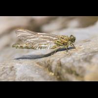 Onychogomphus forcipatus_f_Schlupf_IMG_8362_1200.jpg (der_kex)