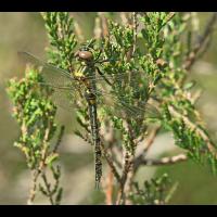 Somatochlora arctica_f_frisch_IMG_0234_1200.jpg (der_kex)