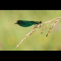 Blauflügel-Prachtlibelle.jpg (Bergland)