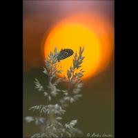 Argus-Bläuling im Sonnenuntergang - ML_00716_20160625.jpg (Markus Lenzen)