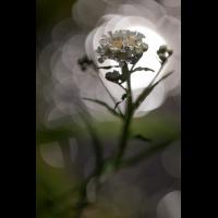 20170622_67---Kopie.jpg (Corela)