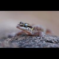 557B8041_7224-2-pachydactylus scutatus.jpg (wolfram schurig)