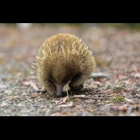Tasmanischer Igel-6351.jpg (laus1648)