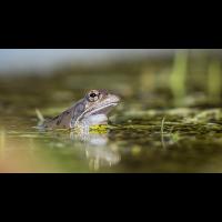 Frosch Farrenpoint 16 9 klein gesch-4110018.JPG (laus1648)