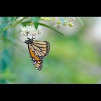 Monarchfalter1200px.jpg (Peter Schmitz)