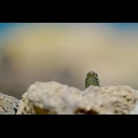 Madeira-Mauereidechse-(502)-1200px.jpg (Peter Schmitz)