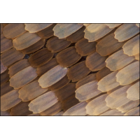 Charaxes etesipe-1200.jpg (A_K)