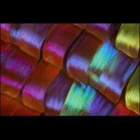 Urania ripheus 40x ohne Diffusor.jpg (A_K)