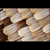 Charaxes etesipe-3_1200.jpg (A_K)
