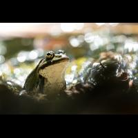 frosch_2.jpg (Markand)
