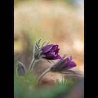Frühlingsschelle04.jpg (rincewind)