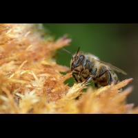 Biene_2020-04-25- Makroforum.jpg (ertho)