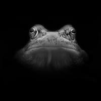 Grasfrosch(Rana-temporaria).jpg (Christian Zieg)