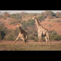 Giraffen-3284.jpg (Harald Esberger)