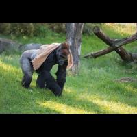 Gorilla-4686.jpg (Harald Esberger)
