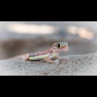 Palmato Gecko-1415.jpg (Harald Esberger)