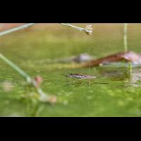 Wasserläufer-.jpg (Harald Esberger)